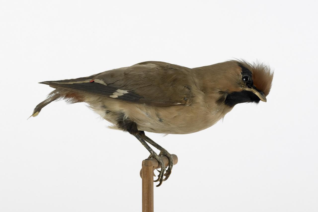 Bombycilla garrulus (Linnaeus, 1758), Pestvogel, opgezette vogel
