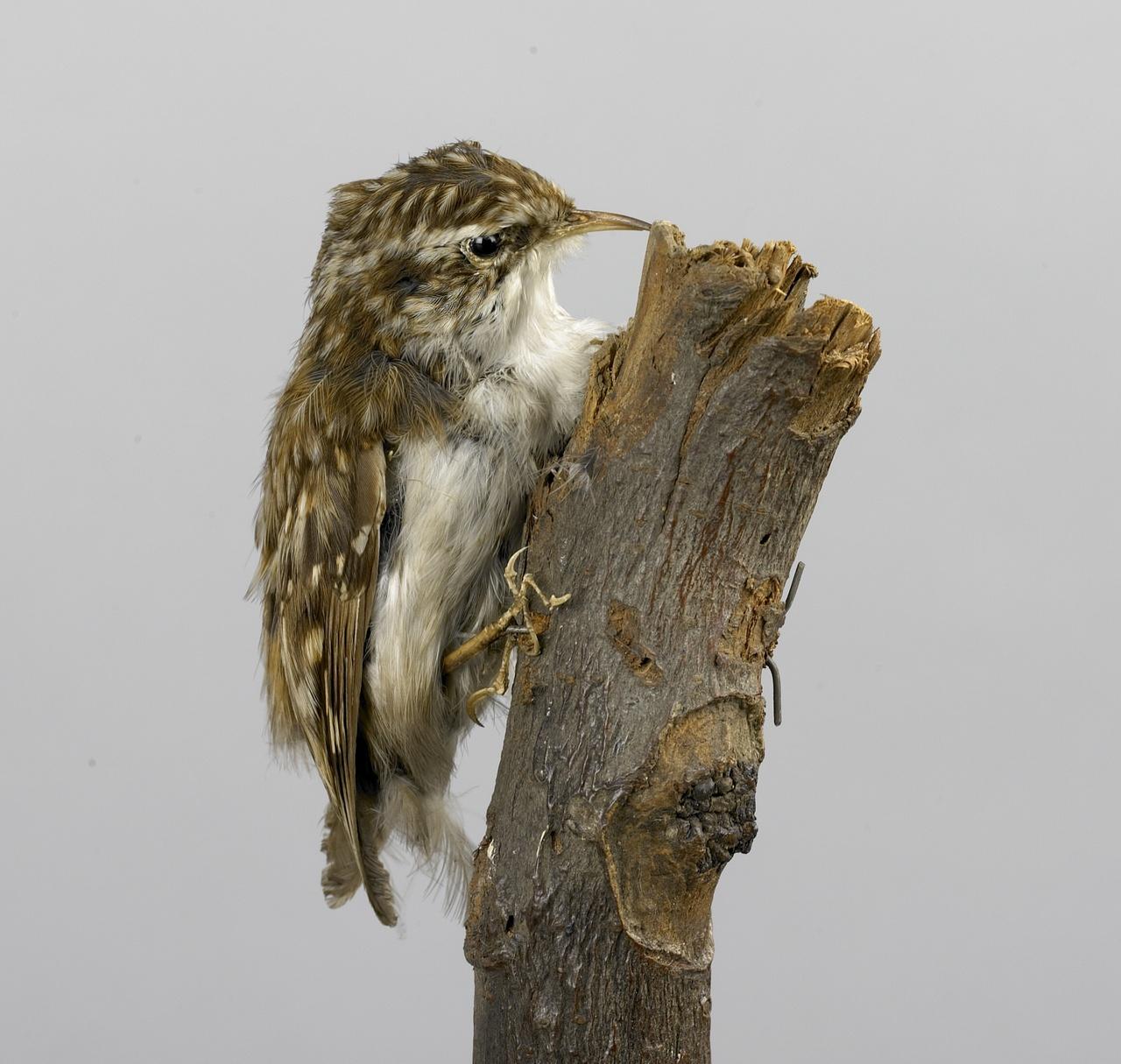 Certhia brachidactyla Brehm, 1818, Boomkruiper, opgezette vogel
