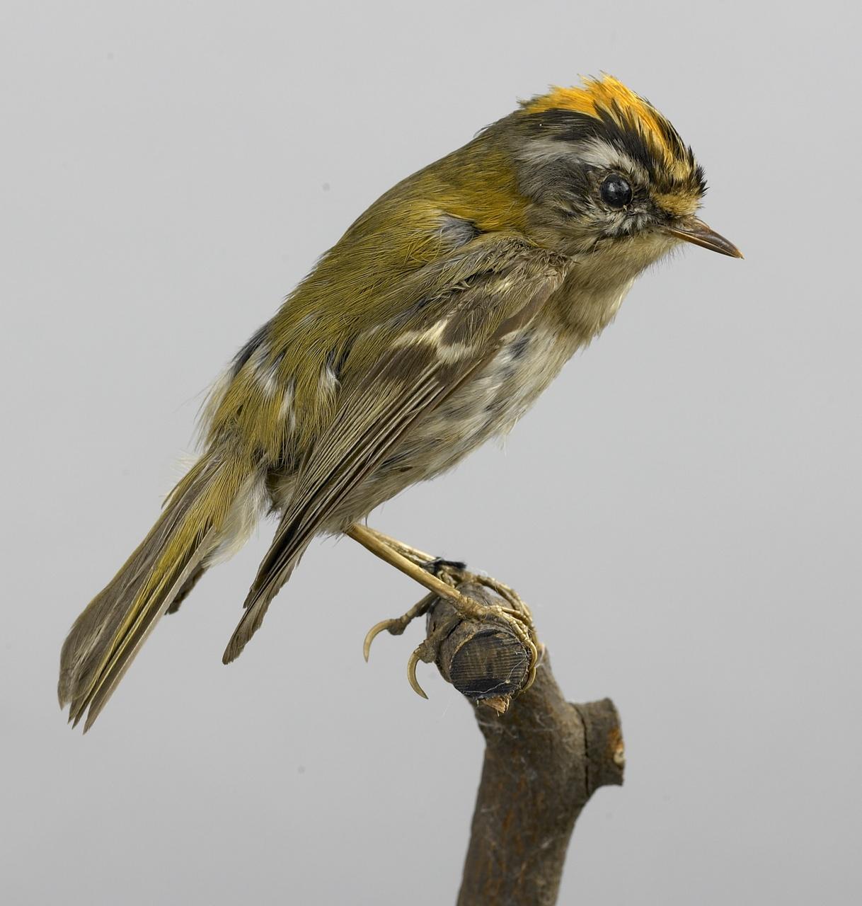 Regulus ignicapilla (Temminck, 1820), Vuurgoudhaantje, opgezette vogel