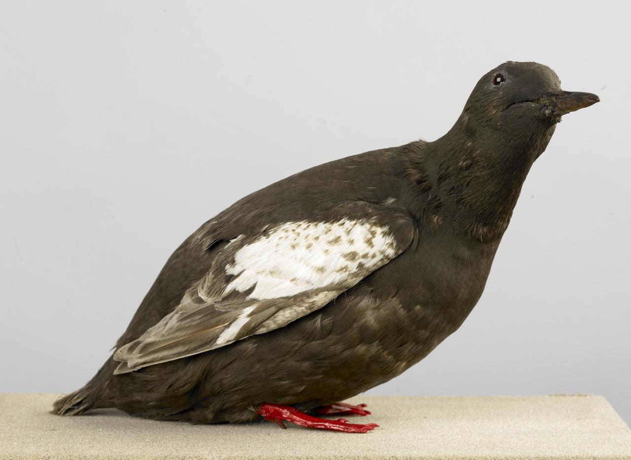 Cepphus grylle (Linnaeus, 1758), Zwarte zeekoet, opgezette vogel