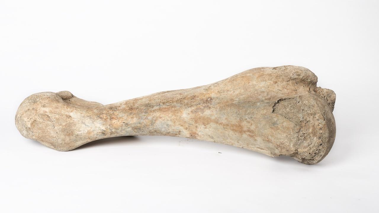 Opperarmbeen van een wolharige mammoet- Humerus